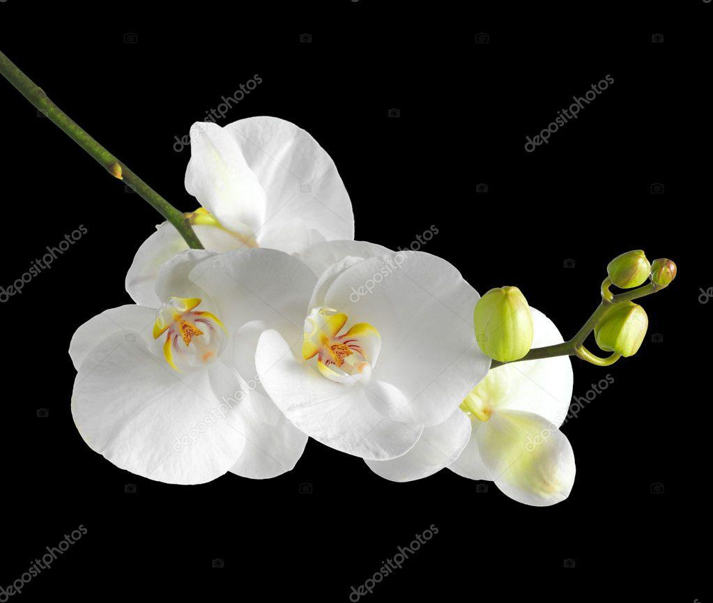 Черная орхидея картинки цветка 6