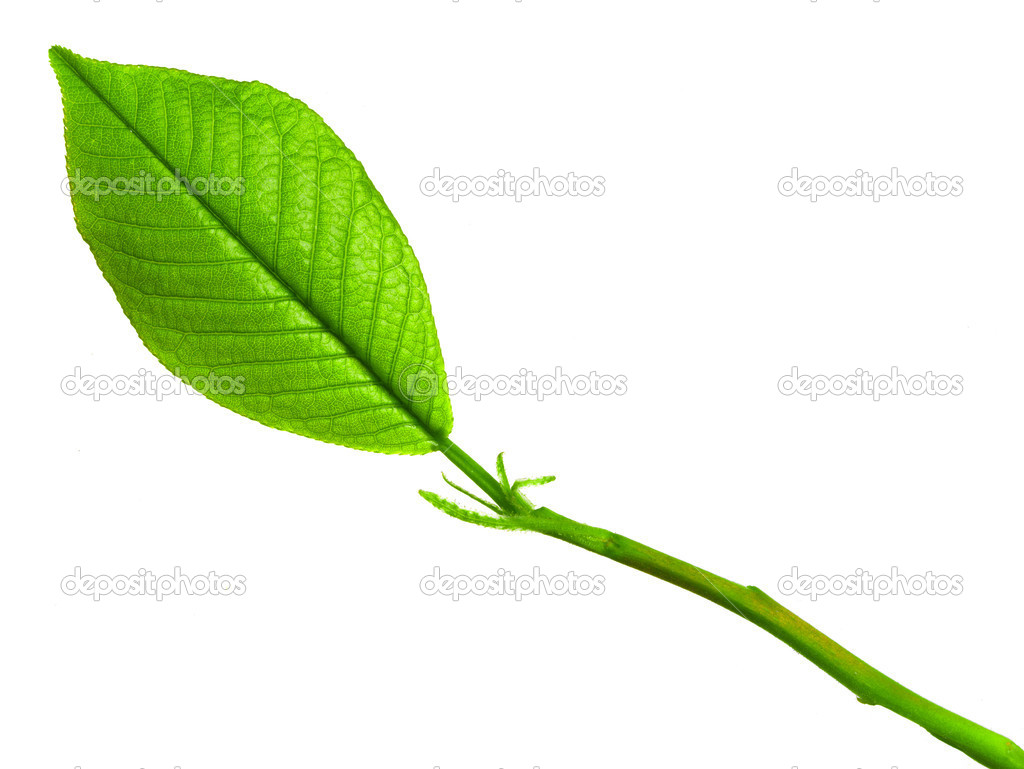 Green young spring leaf isolated, high resolution macro — Stock Photo #7676060