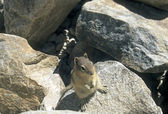 Canadian chipmunk — Stock Photo