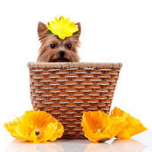 Yorkshire terrier and a basket with flowers — Stock Photo