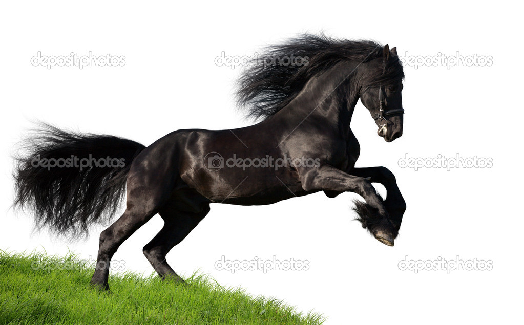 Friesian Horse Galloping Friesian Stallion Gallop in