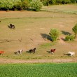 Many horses grazing in the meadow. — Stock Photo