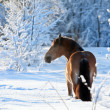 Horse in winter — Stock Photo