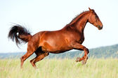 Chestnut horse jumping in field. — Stockfoto
