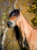 Horse (portrait) in autumn. — Stock Photo