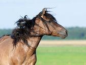 Belarussian stallion — Стоковое фото