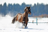 Bay horse running in winter — Stockfoto