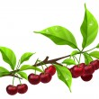 Realistic branch with ripe cherry - Stock Vector