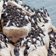 Stock Photo: Razorbills colony