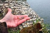 Nestling of razorbill opposite colony — Stock Photo