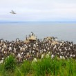 Razorbills colony — Stockfoto