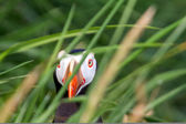 Puffin In the grass sea (Fratercula) 2 — 图库照片