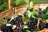 Chokeberries (Aronia) berries in basket — Zdjęcie stockowe