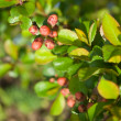 Stock Photo: Japanese quince (Chaenomeles japonica) buds