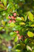 Quince japonský (Chaenomeles japonica) pupeny — Stock fotografie
