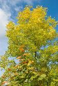 Höstens lönn och aska blad — Stockfoto