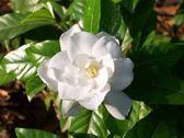 Gardenia — Stock Photo