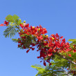 Poinciana Tree Flowers — Stock Photo