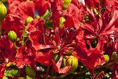 Flores del árbol de poinciana — Foto de Stock