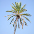 Date palm tree against the sky — Stock Photo
