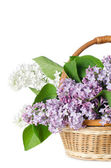 Beautiful lilac isolated on white background — Stok fotoğraf