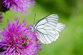 White butterfly on lilac flower — Zdjęcie stockowe