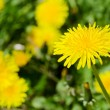 Beautiful Dandelion — Stock Photo