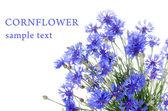 красивые василек синий — Стоковое фото
