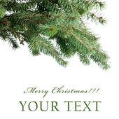 Kožešina strom větev — Stock fotografie