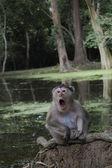 Asian monkey — Stock Photo