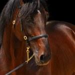 Portrait of dark stallion, isolated on black — Stock Photo