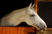 White horse in the stable — Stock Photo