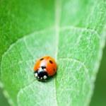 Ladybug — Stock Photo #7166429