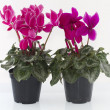 Cyclamen — Stock Photo #6878316