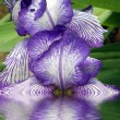 Stock Photo: Flower of an iris
