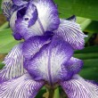 Flower of an iris — Stock Photo