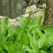 Wood lilies of the valley. — Stock Photo