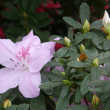 Stock Photo: Flower of azalea. Rhododendron