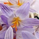 Постер, плакат: Snowdrops flowers