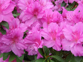 Flower of an azalea. Rhododendron — Stock Photo
