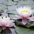 Flowers of water lilies — Stock Photo
