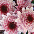 Flowers of chrysanthemums - 图库照片