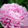 Flowers. Peonies — Stock Photo #7823717