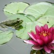 Water lily — Stock Photo #7829143