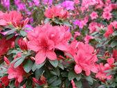 Flower of an azalea. Rhododendron — Stock Photo