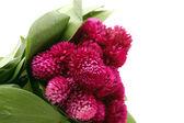 Immortele flowers. — Stock Photo
