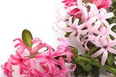 Flores jacintos. — Foto de Stock