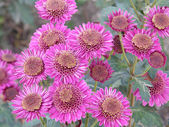 Flower of a chrysanthemum — Stock Photo