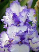 Flor de un lirio — Foto de Stock