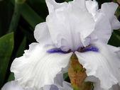 Flower of an iris — Stock Photo